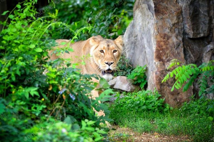 Leona (Panthera leo) caminando a pesar de la hierba mientras caza para fo