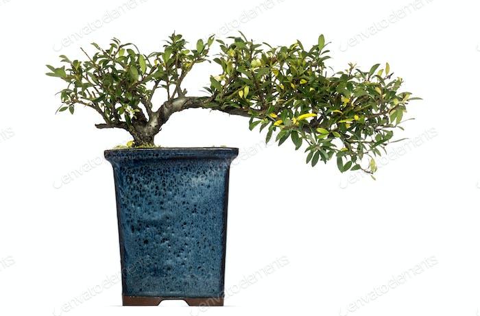 Ilex bonsai tree, isolated on white