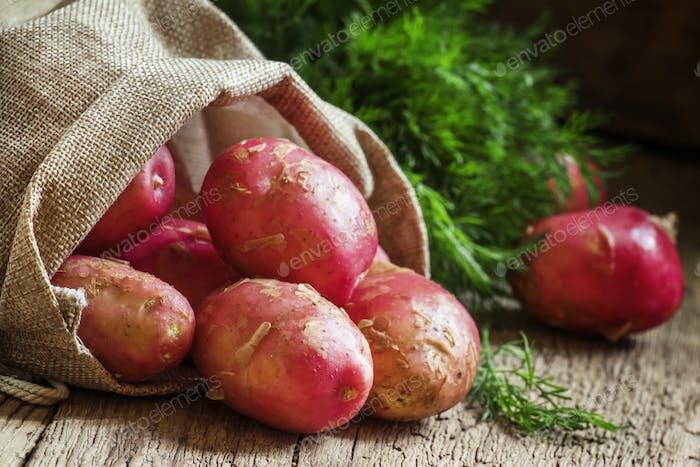 Spring fresh potato crop in a canvas bag