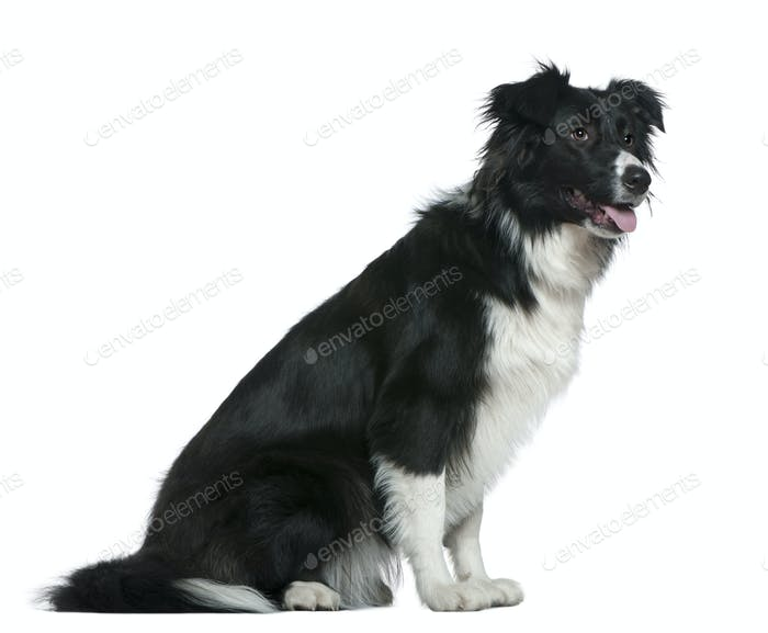 Border Collie, 13 months old, sitting in front of white background