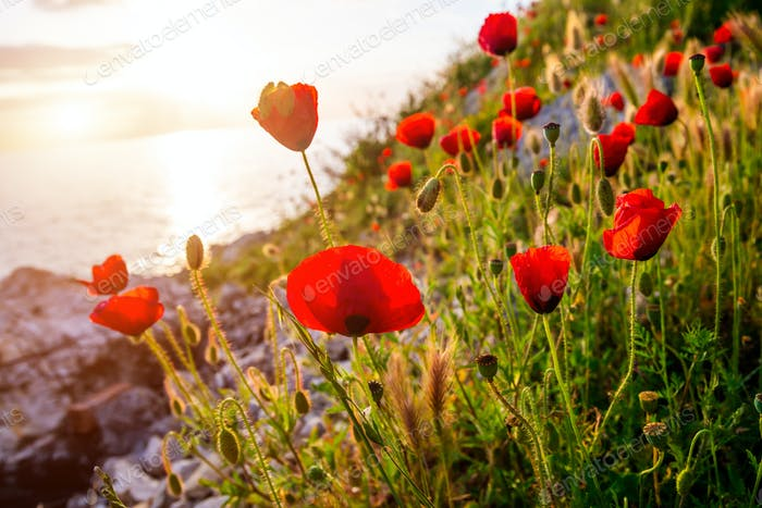 Beautiful poppies on the beach at sunset background.