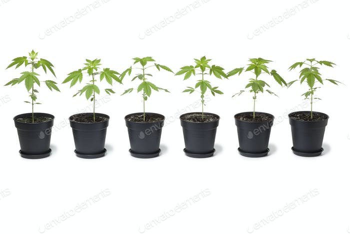 Row of Marijuana plants in plastic pot