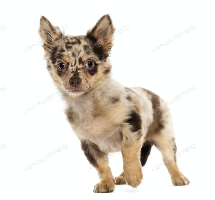 Chihuahua puppy looking away