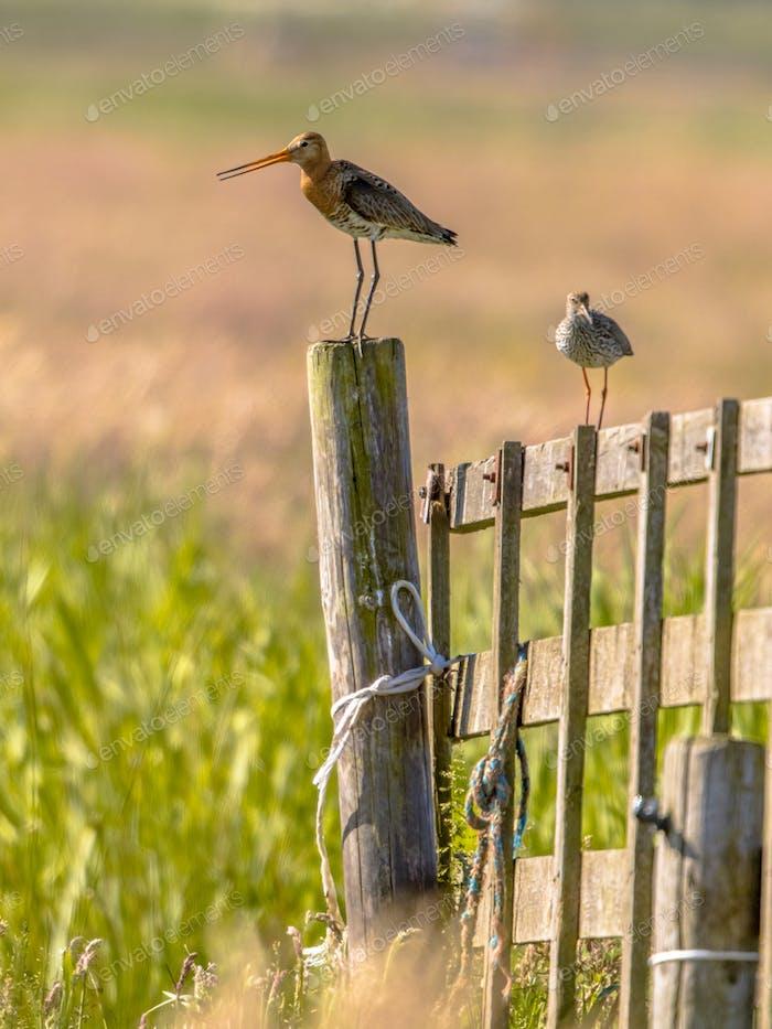 Black-tailed Godwit en redshank wader birds in breeding habitat