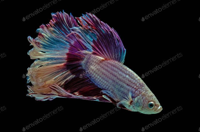 Betta Siamese aquarium fighting fish