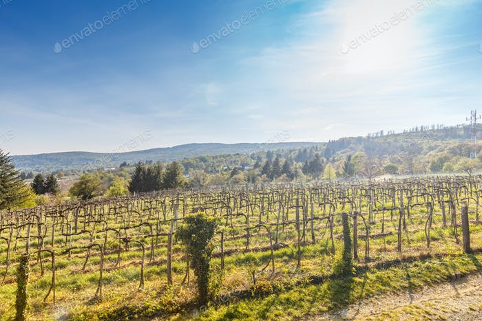 Vineyard landscape in the spring season