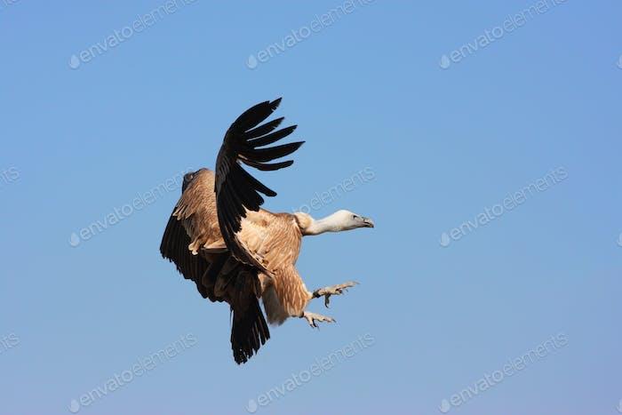 Cape Vulture im Flug