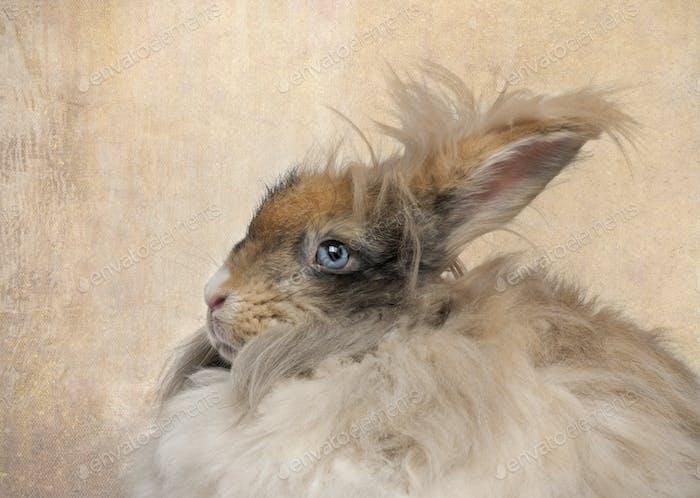 Close-up of English Angora rabbit