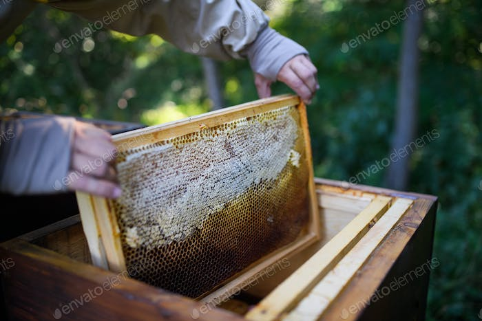 Unrecognizable man beekeeper holding honeycomb frame in apiary