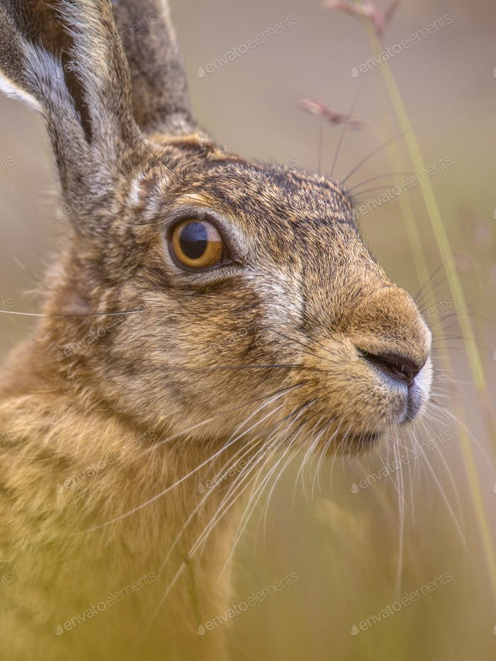 Close up Portrait of vigilant European Hare in grass