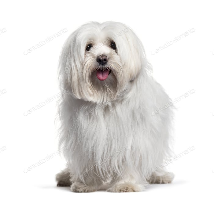 Panting White Maltese dog, sitting, cut-out