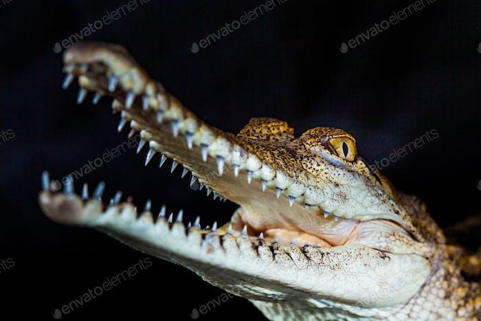 Fresh water crocodile - native animal in northern Australia, studio
