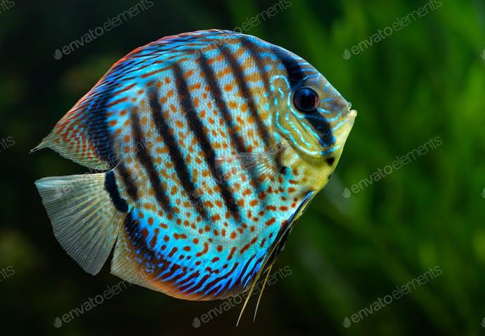 Discus, poissons décoratifs tropicaux