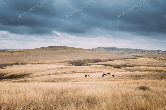 Kakheti Region, Georgia. Cows Eating Grass In Autumn Pasture. Co