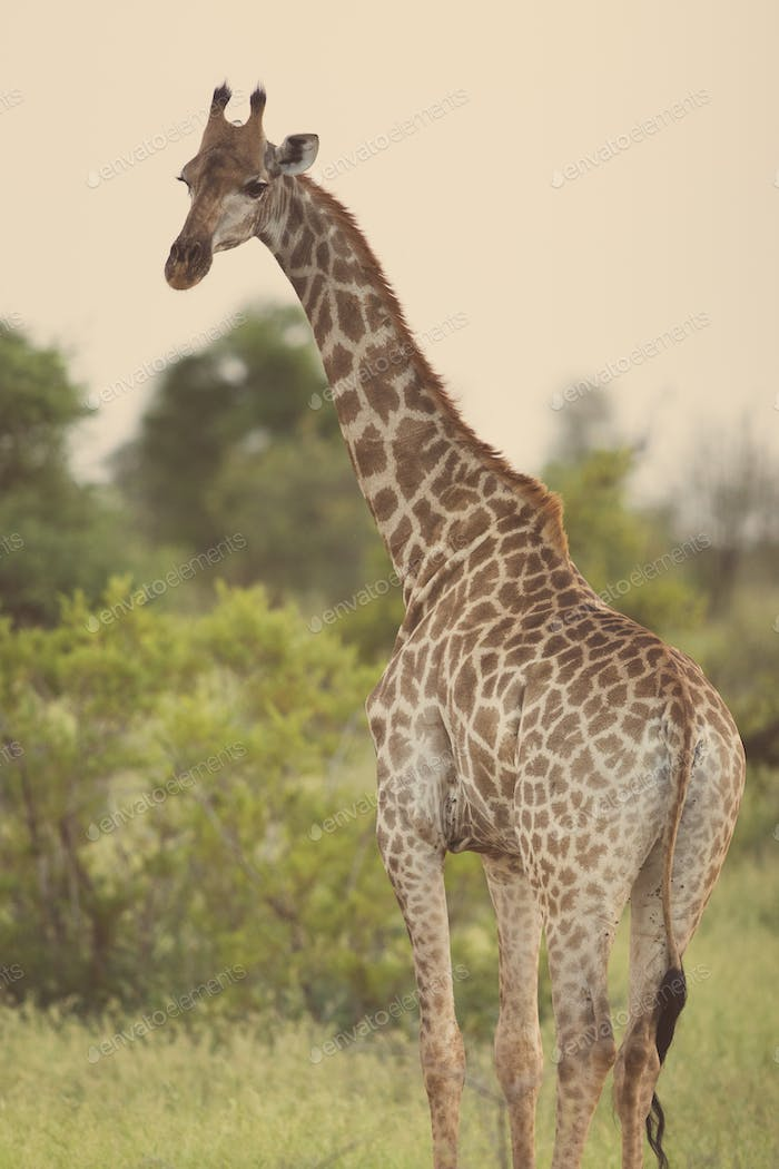 Giraffe standing in soft sunset light