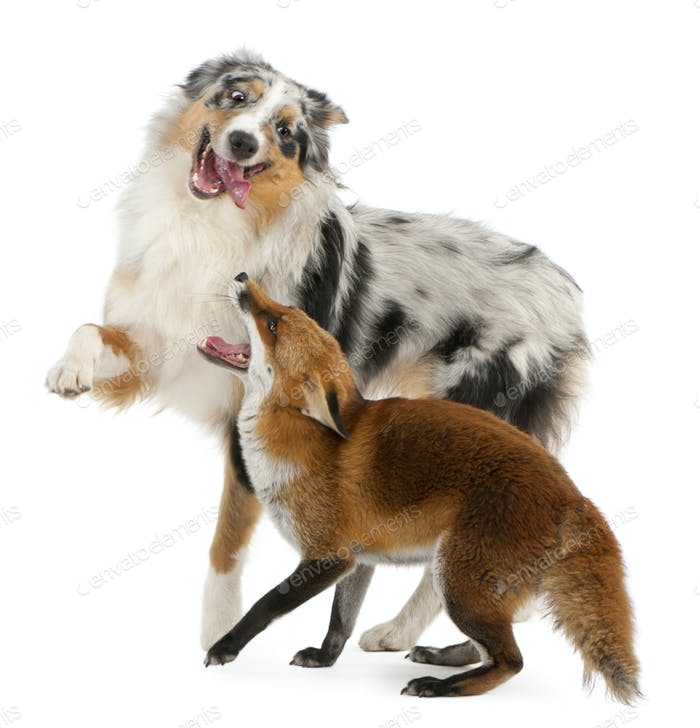 Red Fox playing with Australian Shepherd dog