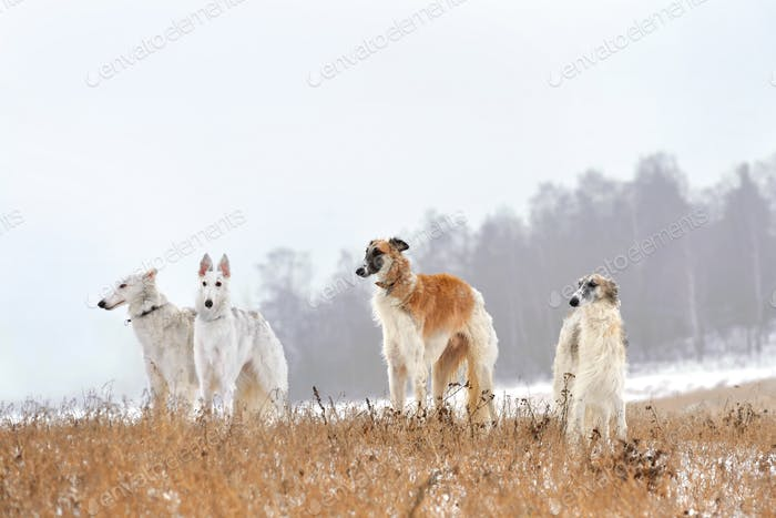 Hunting with russian wolfhounds