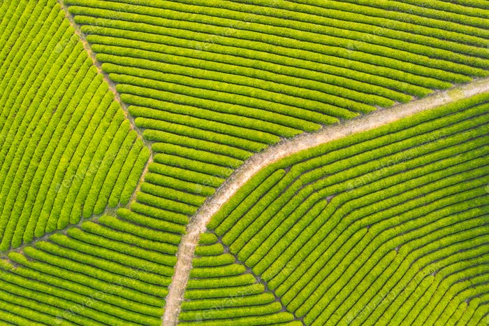 aerial view of tea farm