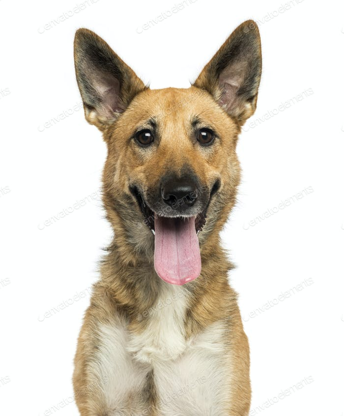 Close-up of a Belgian shepherd dog panting, looking at the camera, isolated on white
