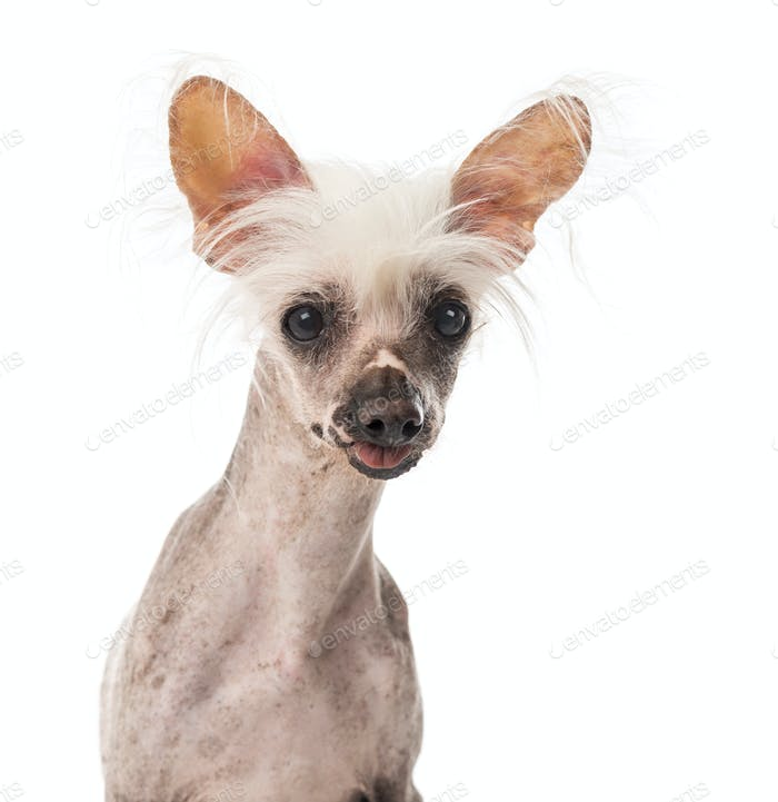 Close-up of a Chinese Crested Dog sitting in front of a white background
