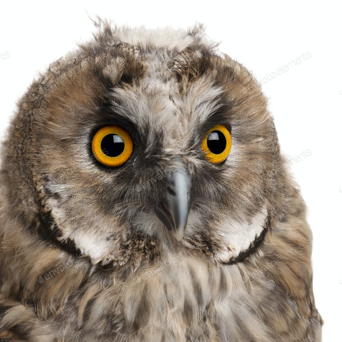 Eurasian Scops-owl, Otus scops, 2 months old, in front of white background