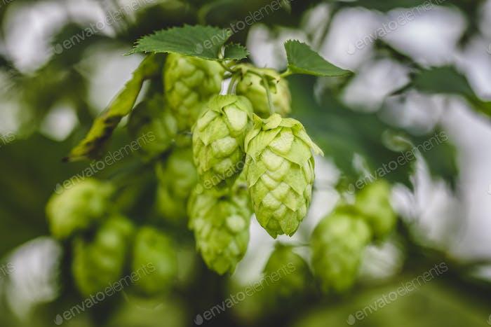 Cascade hop growing