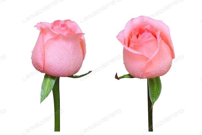 two rose flowers isolated