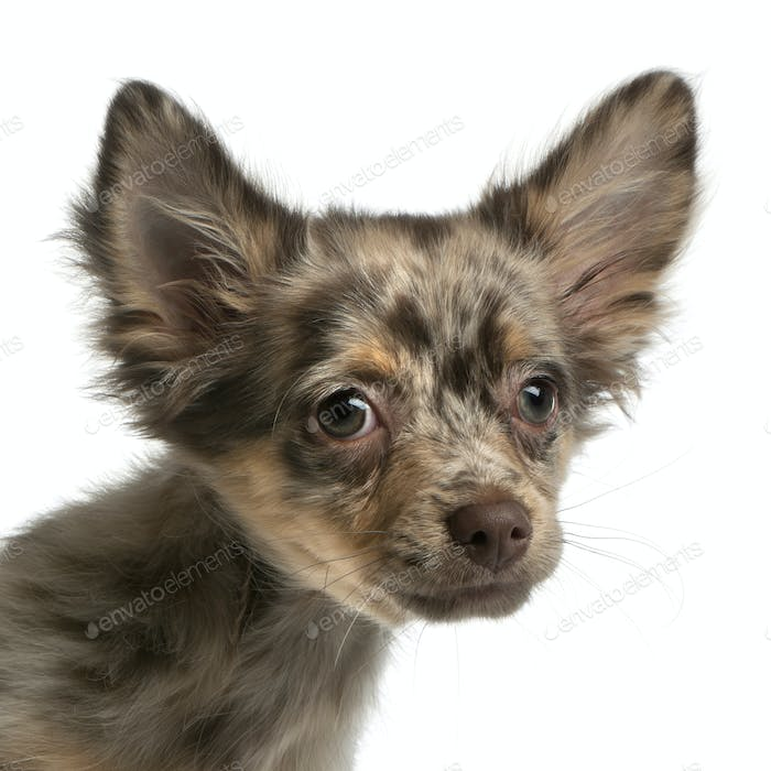 Close-up of Chihuahua, 4 months old, in front of white background