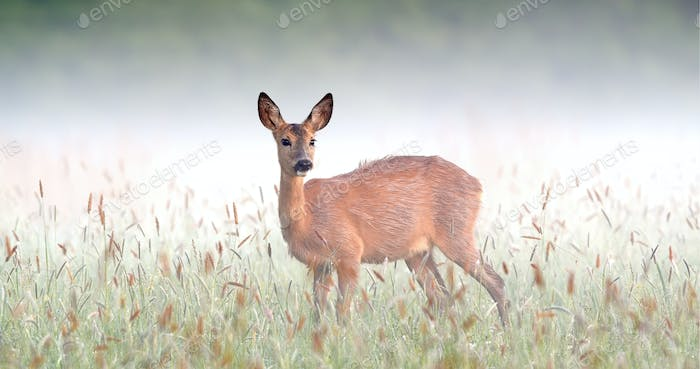Surprised roe deer doe staring on meadow in foggy spring nature