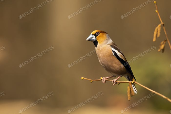 Colourful hawfinch sitting on the blooming hazel twig on sunny spring day