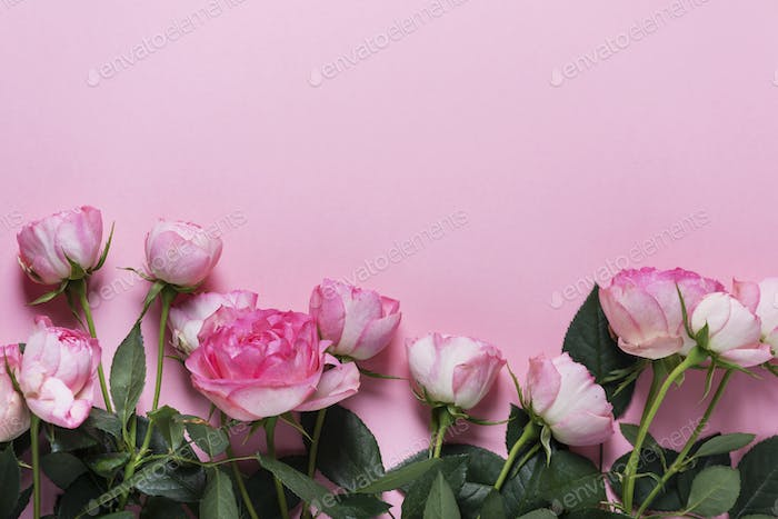 Pink English roses on the pink background