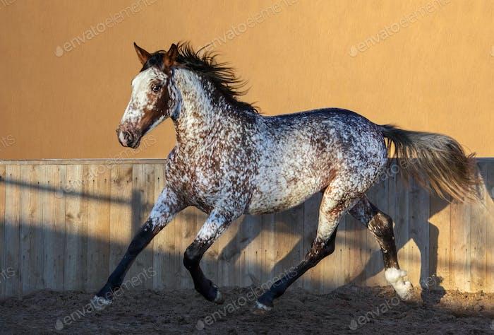 Beautiful rare mixed breed of Spanish and Appaloosa horse.