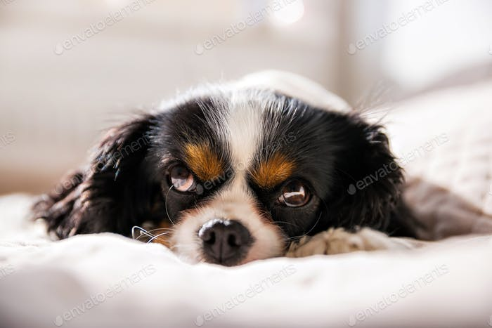 Cavalier spaniel taking a nap