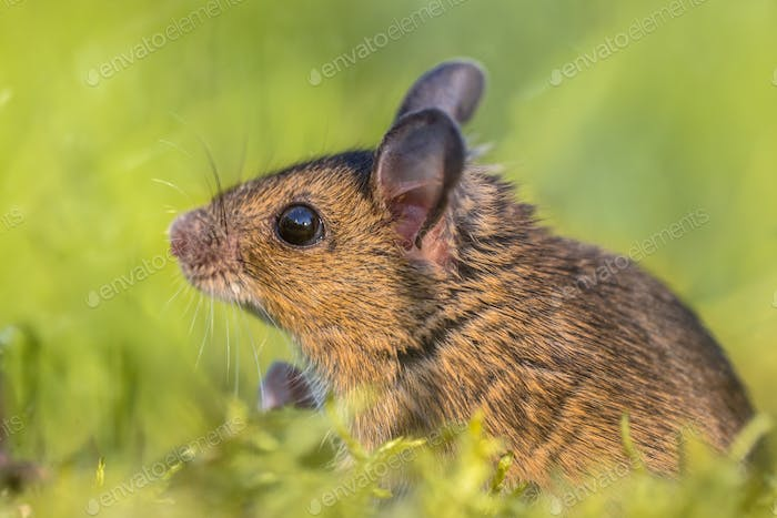 Head of Wood mouse looking up from green environment