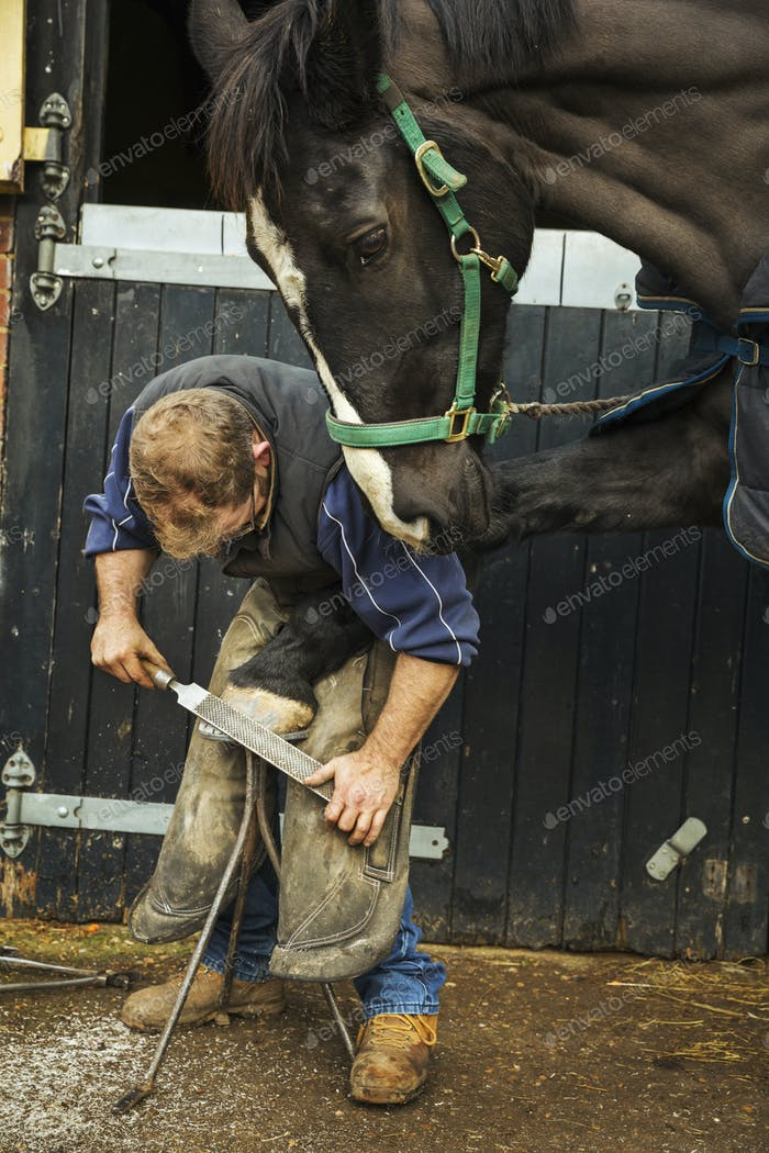 A farrier filing the hoof of a horse he is shoeing.