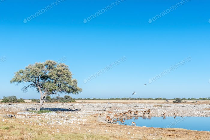 Herd of impalas (Aepyceros melampus) drinking water at a waterhole