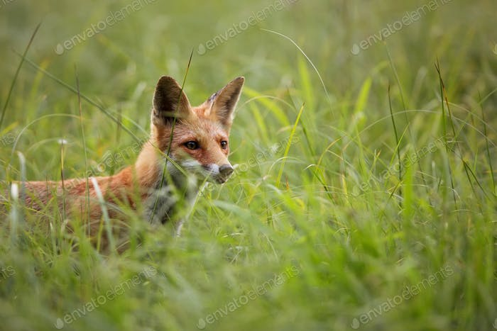 Fox in the grass, a portrait