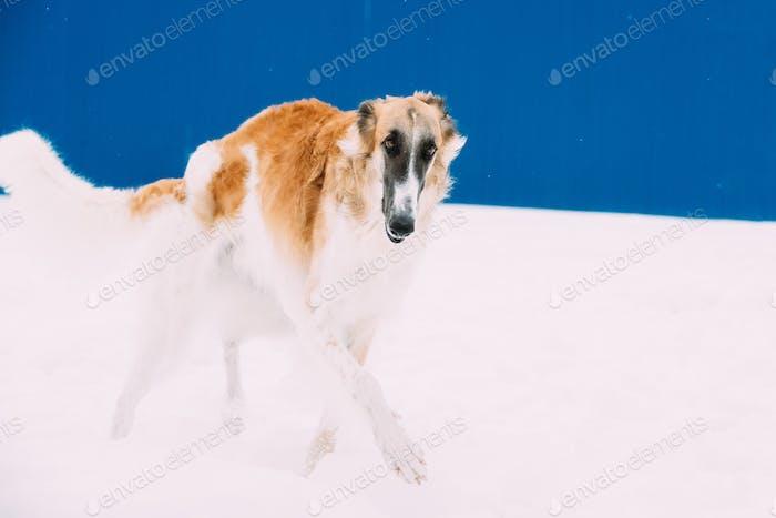 Russe Wolfhound, Russe Chasse Sighthound, Russkaya Psovaya