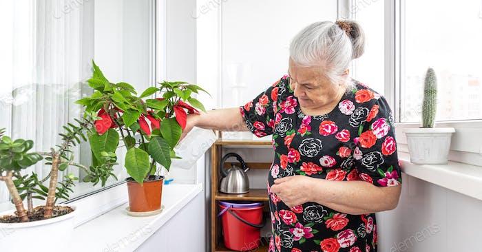 An elderly woman is watering home plants.