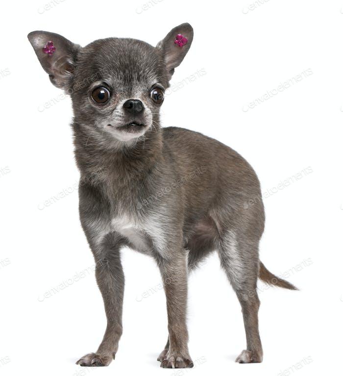 Chihuahua (7 Jahre)