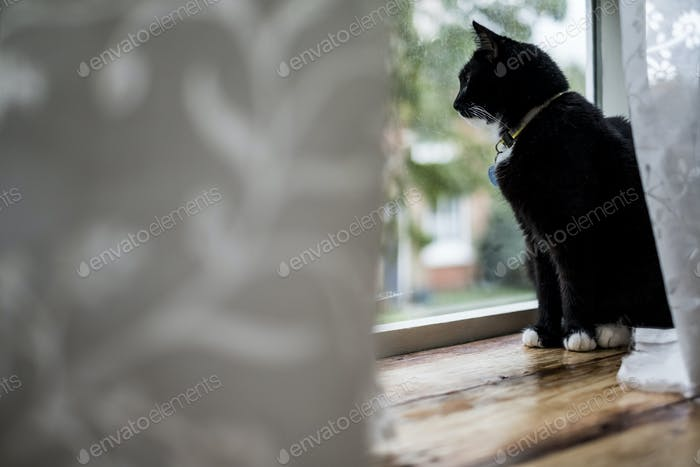 Close up of black cat sitting on window sill behind white curtain, looking through window.