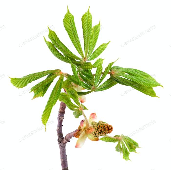 Spring chestnut