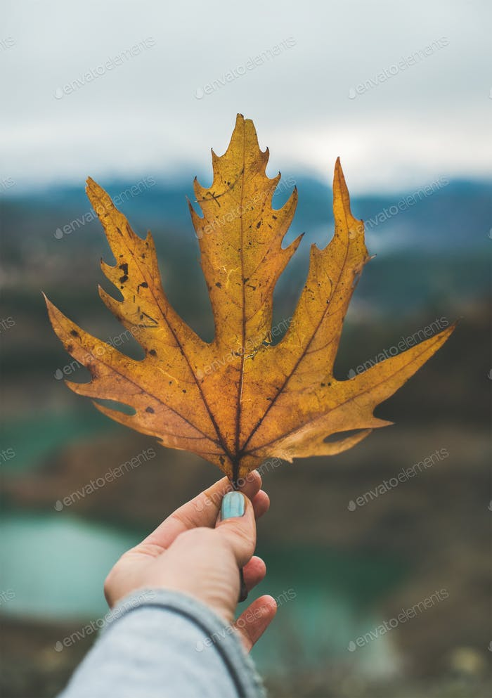Woman' s hand holding yellow grape leaf