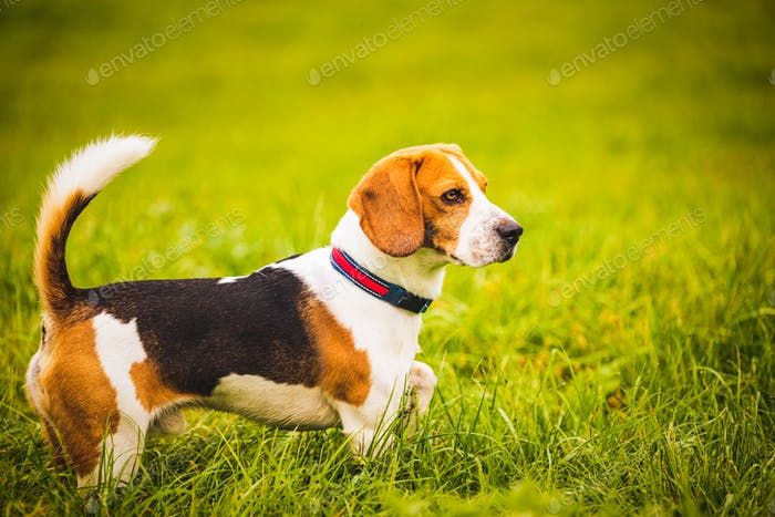 Beagle dog on the background of a green field in the autumn after the rain while running like crazy