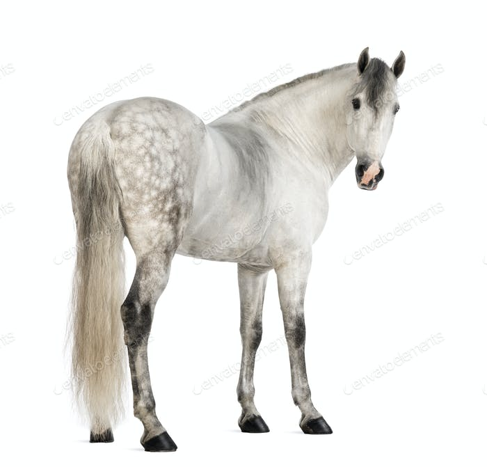 Rear view of a Male Andalusian, 7 years old, also known as the Pure Spanish Horse or PRE