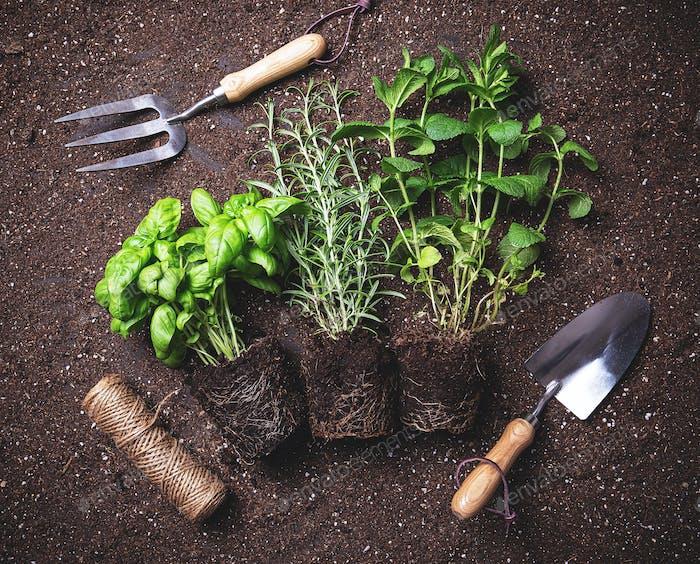 Herbs freshly harvested