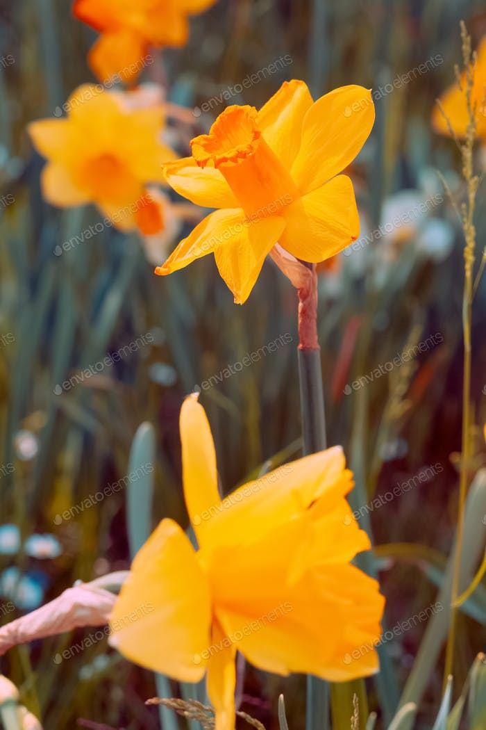 Narcissus aesthetic bloom spring summer nature background.