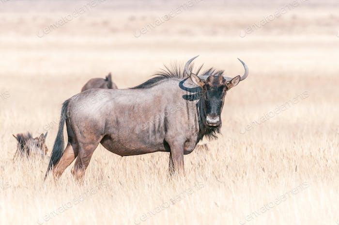 Blue wildebeest looking towards the camera