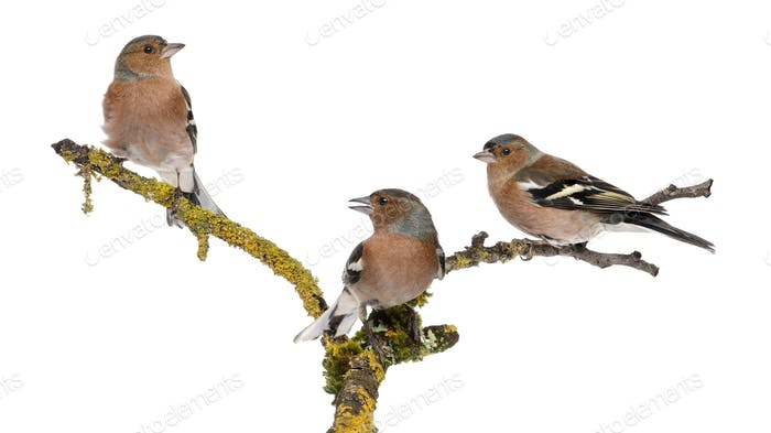 Thumbnail for Three Common Chaffinch on a branch, Fringilla coelebs