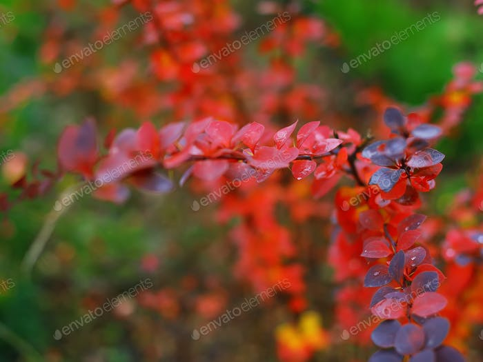 Bright colored leaves on the branches in the autumn forest